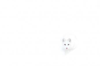 Картинка животные песцы лиса полярная белая