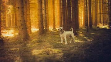 обоя животные, собаки, собака, солнце, лес
