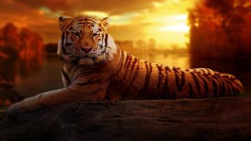 обоя животные, тигры, отдых, лапы, морда, тигр, трава, хищник