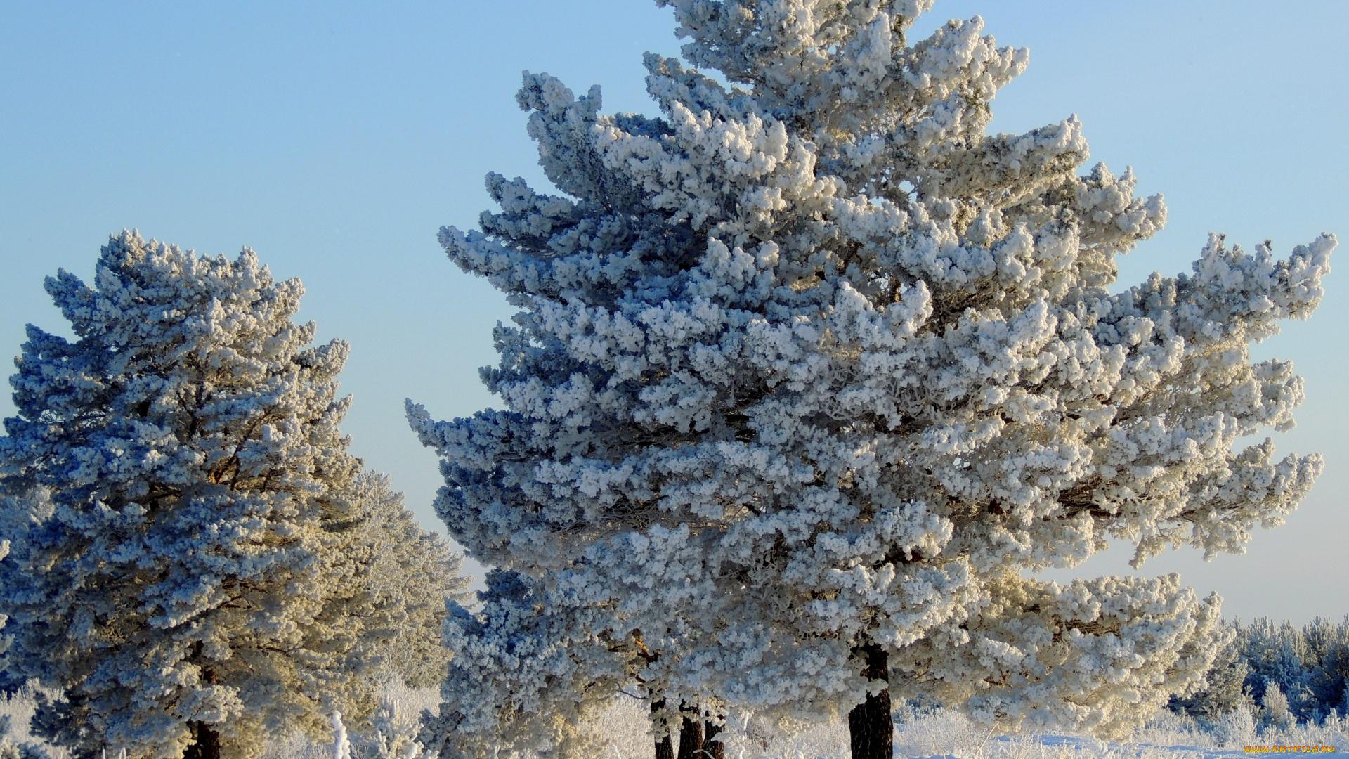 разделить зимняя сосна картинки можете удалять понравившиеся