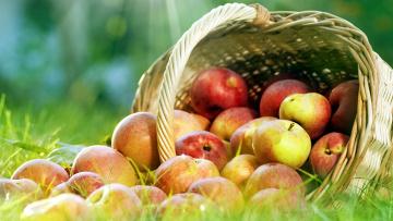 обоя еда, Яблоки, много, плоды, урожай, корзинка