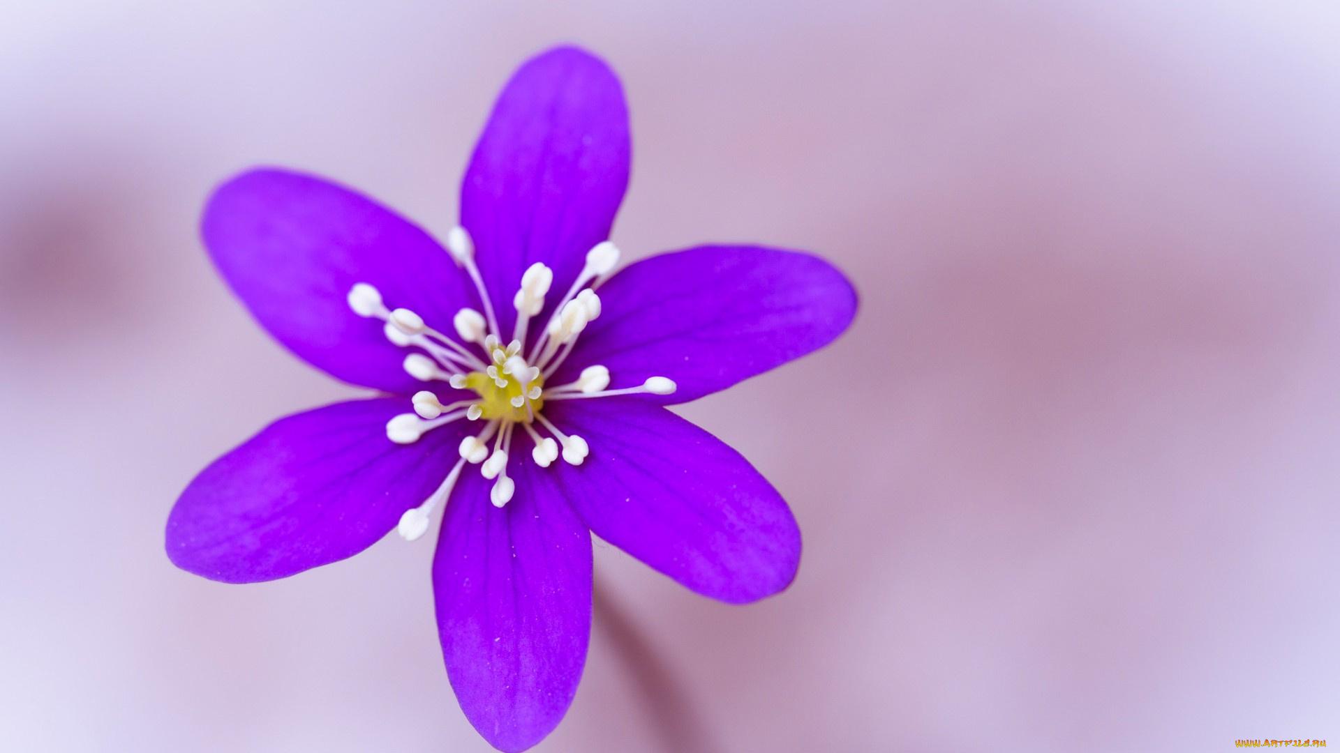 цветы тычинки лепестки бесплатно