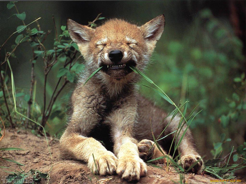 Картинки с прикольными волками, доброе утро самая
