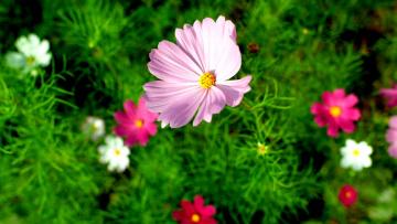 Картинка цветы космея розовый