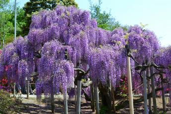 Картинка цветы глициния парк