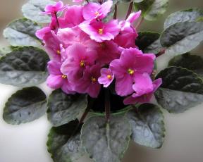 обоя цветы, фиалки
