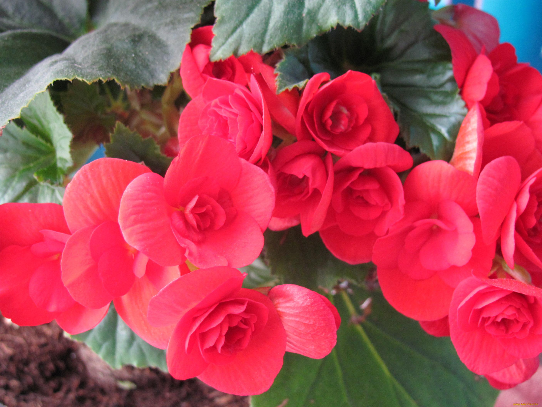 Цветок бегония фото приметы