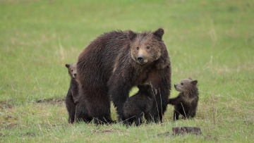 обоя животные, медведи, большой, медведь, животное, шкура