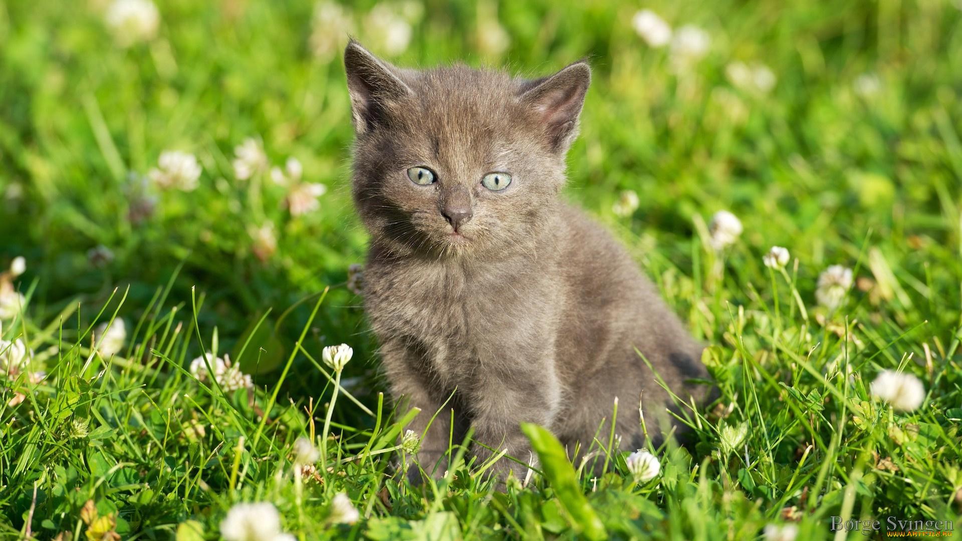 Кот сиамский кот цветы лужайка скачать