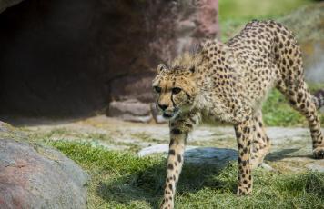 Картинка животные гепарды грация кошка