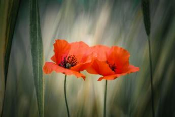 обоя цветы, маки, лето