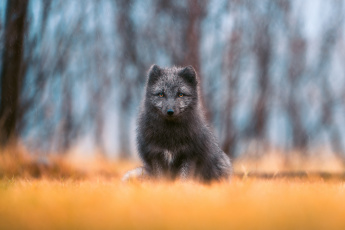 обоя животные, лисы, лиса, взгляд, дождь, чернобурая, лисица, боке