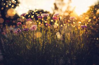 обоя цветы, гвоздики, свет, трава, лето