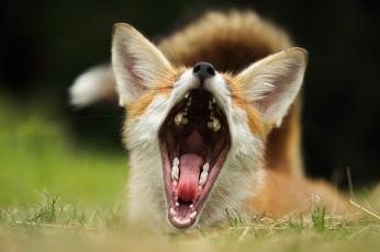 обоя животные, лисы, фон, лиса, пасть