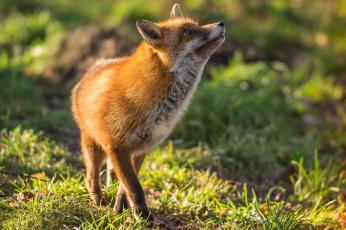 обоя животные, лисы, плутовка, red, fox, рыжая, лиса