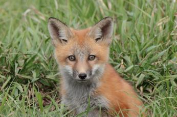 обоя животные, лисы, взгляд, мордочка, лисёнок