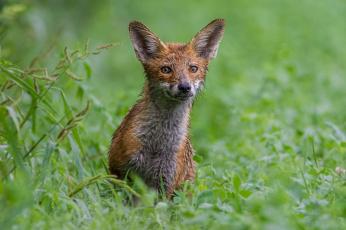 обоя животные, лисы, животное, шкура, опасна, окрас, лиса