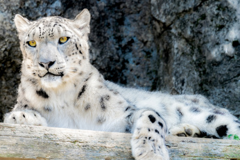 обоя животные, снежный барс , ирбис, снежный, барс, кошка, взгляд, камни