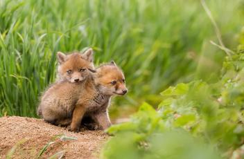 обоя животные, лисы, природа, лето