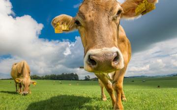 Картинка животные коровы +буйволы лето пастбище луг