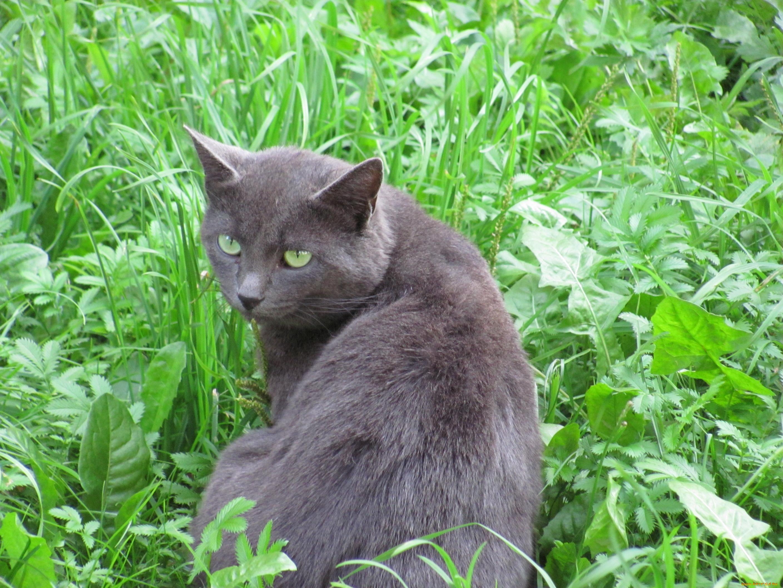 Дымчатый кот в траве бесплатно