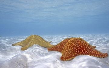 обоя животные, морские звёзды, море, вода, песок, дно, морские, звезды, пара