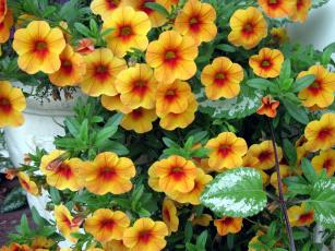 обоя цветы, петунии,  калибрахоа, калибрахоа