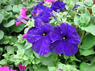 обоя цветы, петунии,  калибрахоа, синий