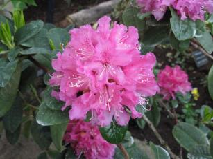 обоя цветы, рододендроны , азалии, азалия