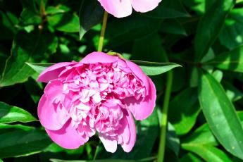 обоя цветы, пионы, розовый, бутон, макро