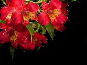 обоя цветы, альстромерия, алый