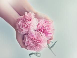обоя цветы, гвоздики, розовый, трио, руки