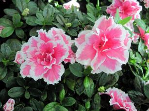 обоя цветы, рододендроны , азалии, азалия, бутоны