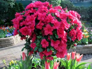 обоя цветы, рододендроны , азалии, азалия, куст