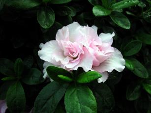 обоя цветы, рододендроны , азалии, азалия, нежный
