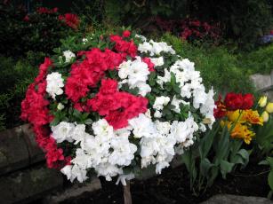 обоя цветы, рододендроны , азалии, розовый, азалия, белый