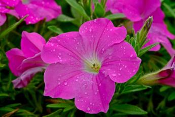 обоя цветы, петунии,  калибрахоа, розовый, капли