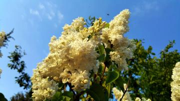 обоя цветы, сирень, весна, белые, гроздья