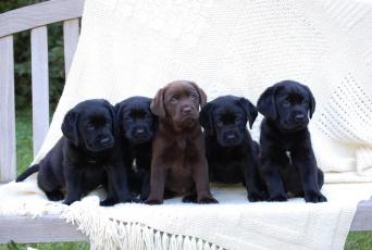 обоя животные, собаки, черные, лабрадор, щенки, шоколадный
