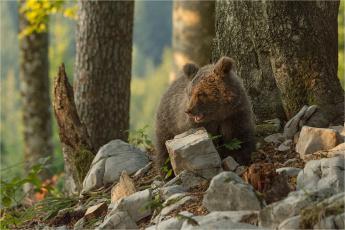 обоя животные, медведи, хищник, животное, камни, деревья, природа, медвежонок, детёныш
