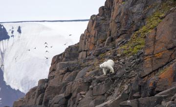 обоя животные, медведи, мох, птицы, скалы, горы, полярный, белый, медведь
