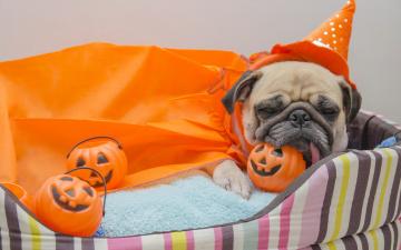 обоя животные, собаки, тыква, хеллоуин, dogs, pumpkin, мопс, halloween, собака, игрушки