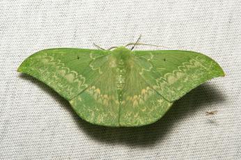 Картинка животные бабочки +мотыльки +моли мотылёк макро itchydogimages зелёный усики крылья