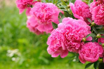 обоя пионы, цветы