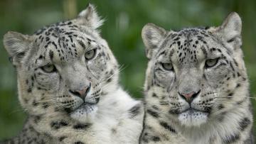 обоя животные, снежный барс , ирбис, барсы, пара, хищники