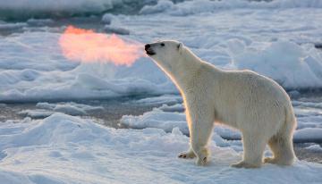обоя животные, медведи, полынья, лед, полярный, белый, медведь