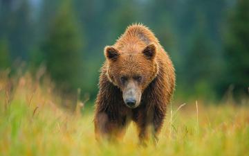 обоя животные, медведи, луг, медведь, лето