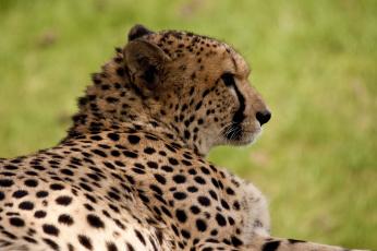 Картинка животные гепарды гепард отдых профиль