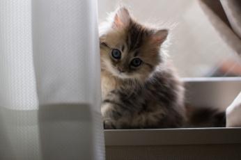 Картинка животные коты котёнок взгляд пушистый коте киса малыш занавеска