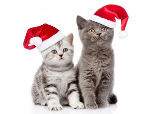 обоя животные, коты, christmas, взгляд, cats, рождество, новый, год, кот, шапка